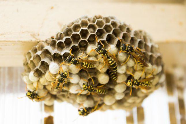 nid de guêpes jaunes comment le détruire